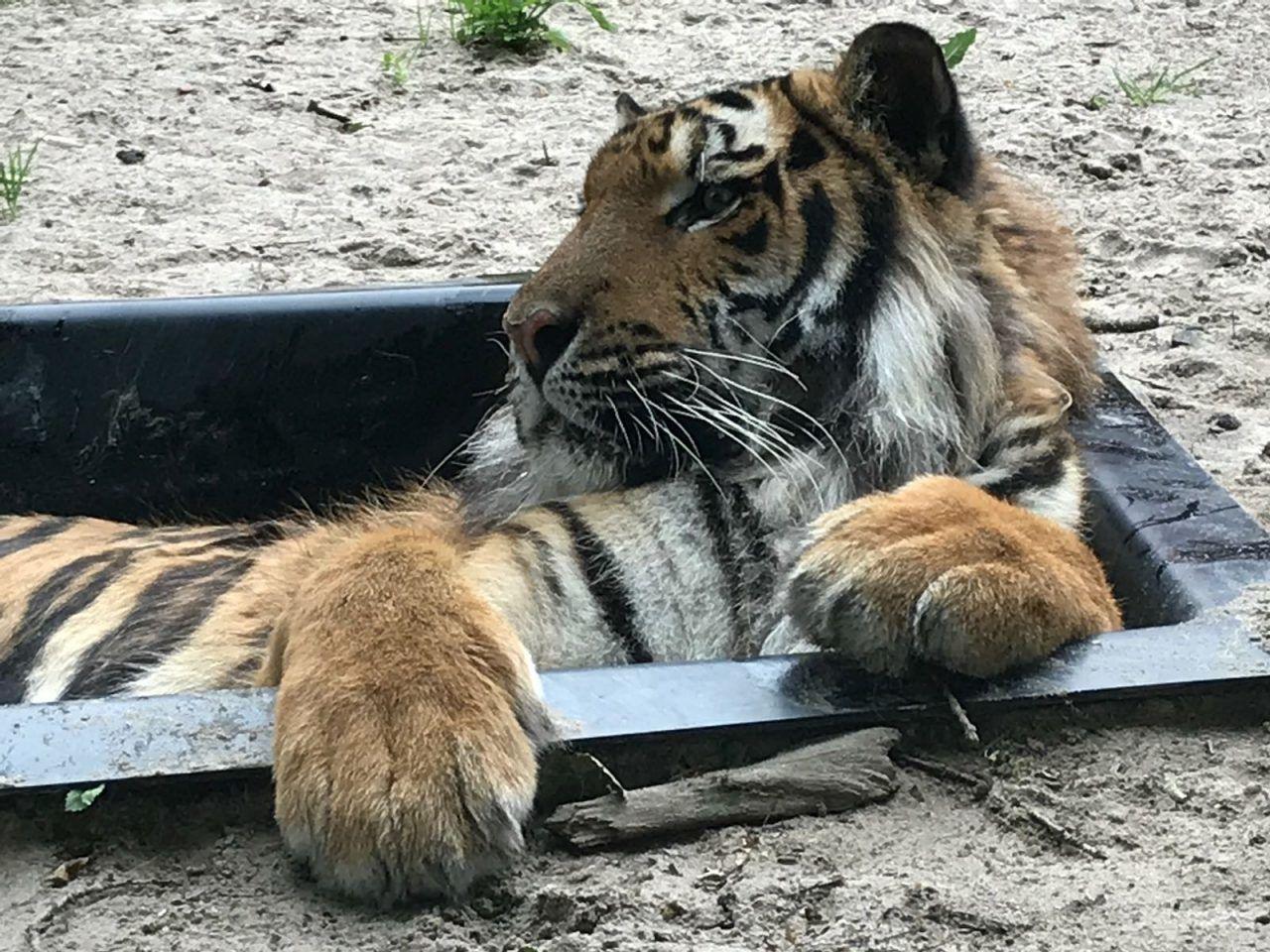 Rechthoekige bak met tijger