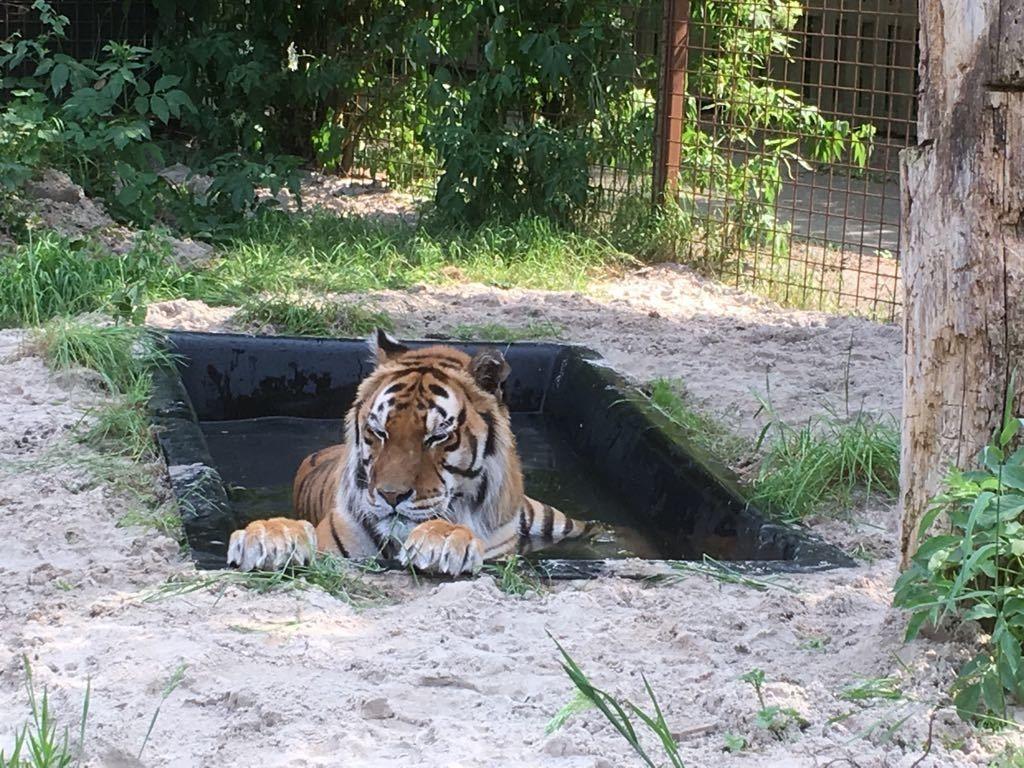 Vijverbak met tijger